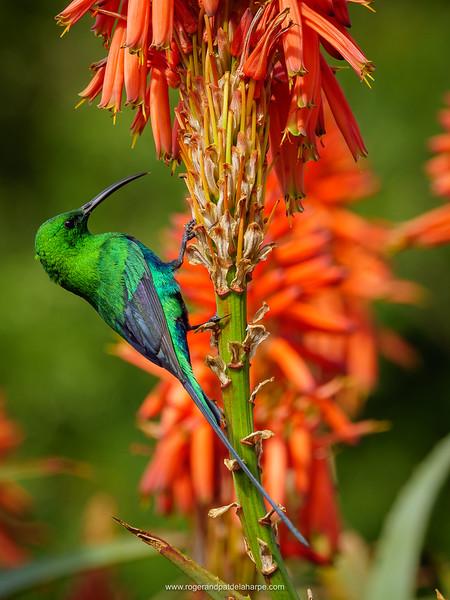 Malachite sunbird (Nectarinia famosa) feeding on nectar on a Krantz aloe (Aloe arborescens). Cape Town. Western Cape. South Africa