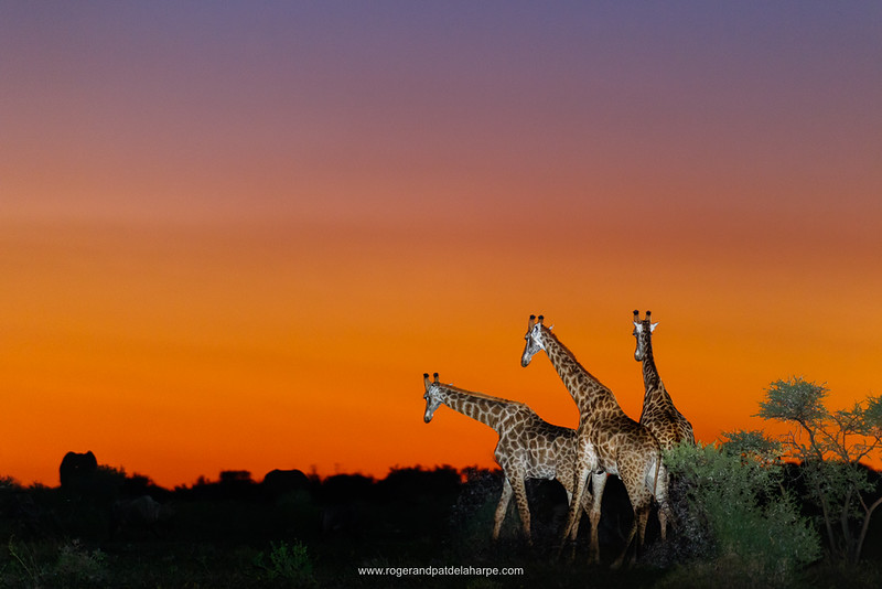 You need a really powerful flash and one of those flash extenders to add the right amount of flash into a wildlife sunset shot. It is best used in manual mode and when this technique works you can get some wonderful pics.