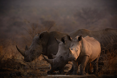 There was a lot happening with these rhino and having set the camera to Program mode meant I didn't have to worry about exposure, concentrating instead on what the animals were doing and on getting the composition right.  Nikon D7100 and 80 - 400mm lens. 1/320 sec at f5,6. ISO  400.
