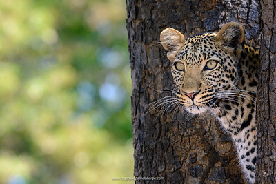 This young female leopard was bouncing around this tree, having a fine time – one moment in full sun, the next in shadow. This is not the time for manual – I would prefer Aperture Priority or Program.  Nikon D7100 and 80 - 400mm lens. 1/400 sec at f9. ISO  400.
