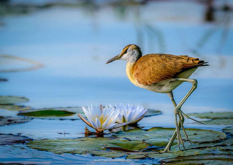 Notice the placement of this juvenile jacana and the water lilies within the frame. The eye of the bird is on the top third and the lilies on the bottom third. The whole grouping is positioned to the bottom right, allowing space in front of the objects.