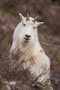 Rocky Mountain Goat