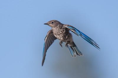 Mountain Blackbird