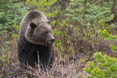 North American Brown Bear
