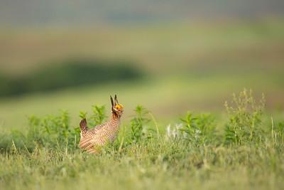 Lesser Prairie Chicken