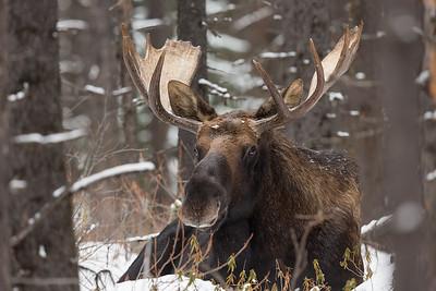 Canadian Moose
