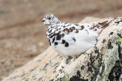 White-tailed Ptarmigan