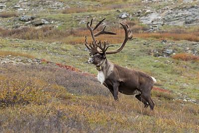 Alaska-Yukon Barren Ground Caribou