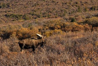 Alaska-Yukon Moose
