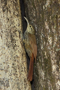 Woodcreeper, Spot-crowned