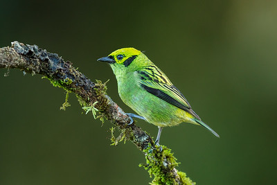 Emerald Tanager