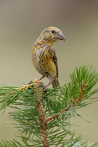Red Crossbill