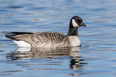 Goose, Canada (Richardson's)
