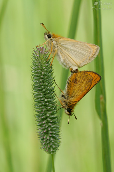 Mating European Skipper Butterflies