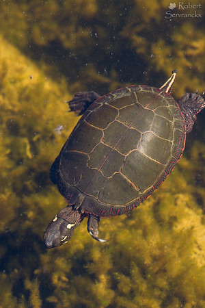 Swimming Painted Turtle