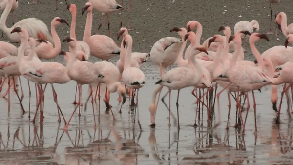 Flamingos - Walvis Bay