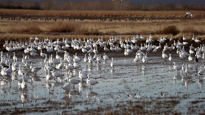 Snow Geese Fly Off