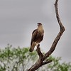 Crested Caracara Scratches its Head