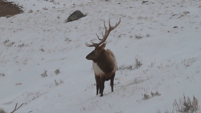 Bull Elk Foraging in the Snow