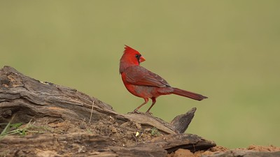 Male Northern Cardinal eats seeds on a log.