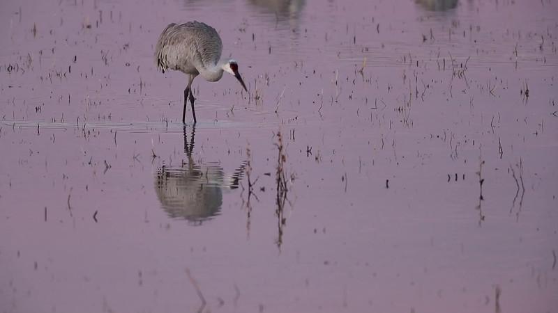 Sandhill Crane Foraging Reflection