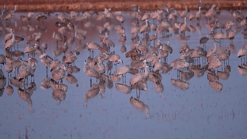Sandhill Cranes Roosting Wake Up