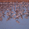 Sandhill Cranes Roosting Wake Up