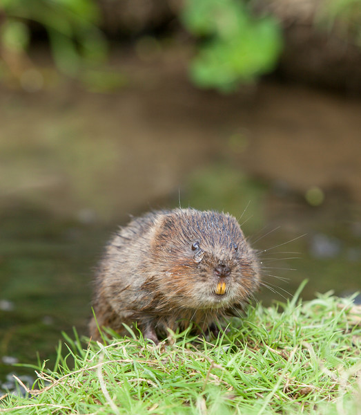 Water vole climbing out of the water