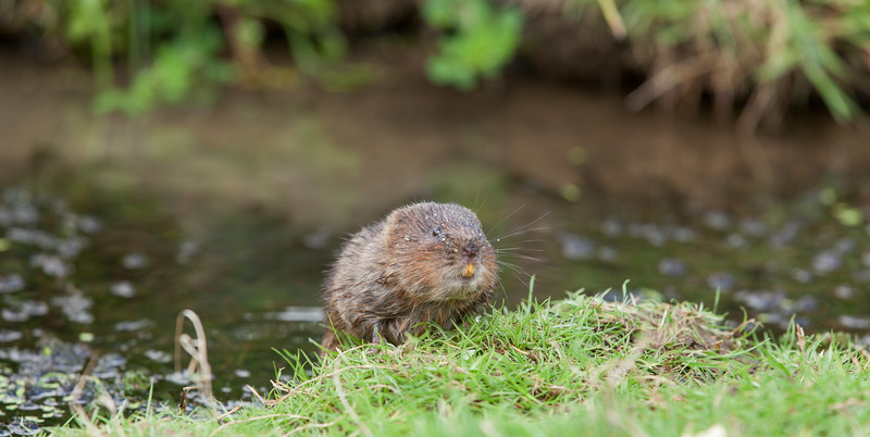 Water vole by the grassy bank