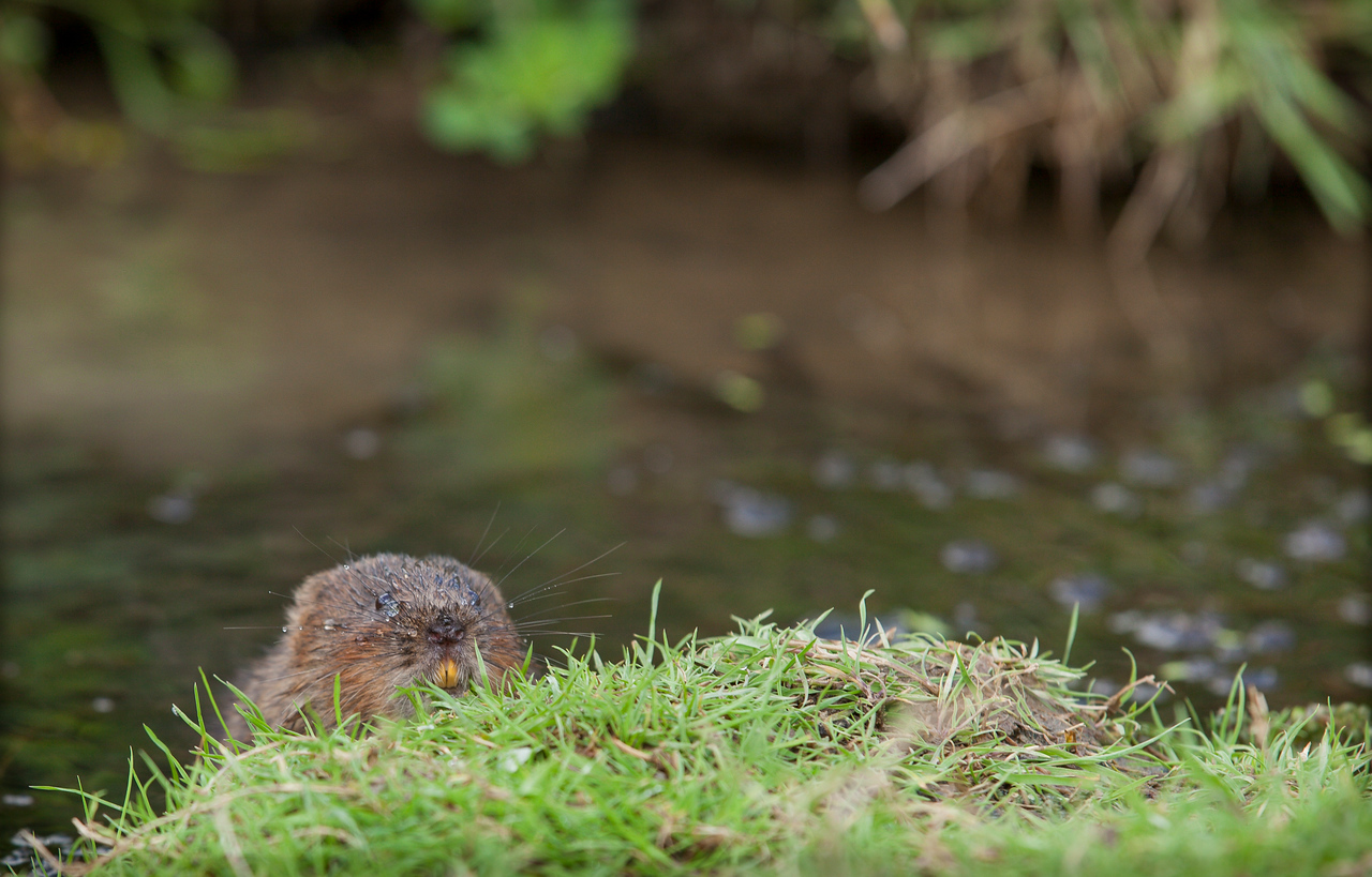 Water vole on the grass bank