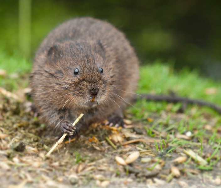 Water vole eating a bit of straw near the water