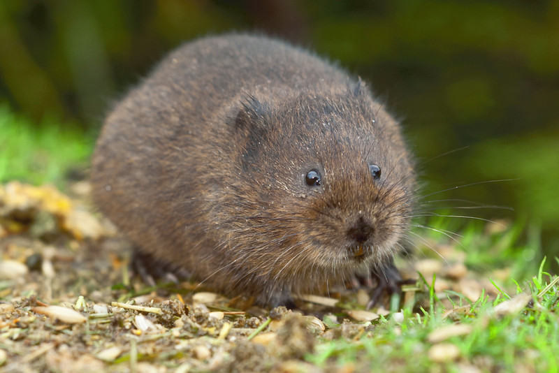 Water vole eating on the banks of a pond