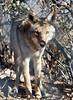 Coyote, Heritage Park Zoological Sanctuary, Prescott, AZ