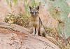 Urban fox kit - Mount Rubidoux, July 22, 2011 - watching walkers and joggers