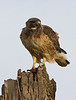 Red Tail Hawk and the end of a meal, Anza Narrows Park, Riverside, CA