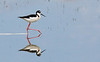 You put your right foot out . . .<br /> <br /> (Dec. 8, 2008) As cloudy as it was at the San Jacinto Wildlife Refuge, the water was glassy. I got a kick out of this Black-necked Stilt tripping the light fantastic with himself.