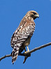 Cooper's Hawk, Rancho Jurupa Park, Rubidoux, CA