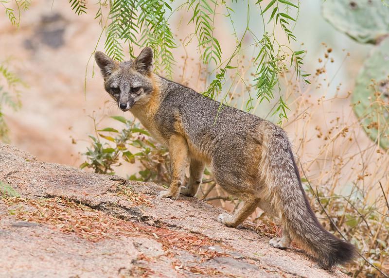 Urban fox kit - Mount Rubidoux, July 22, 2011