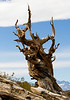 Ancient Bristlecone Pine Forest, Inyo County, CA