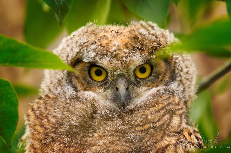 Owl100