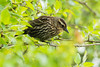Female Red winged blackbird at Reifel Bird Sanctuary in Ladner, British Columbia