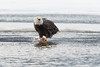 Adult Bald Eagle claiming his Chum Salmon, Chilkat River, Haines, Alaska