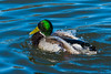 Male Mallard Duck at fReifel Bird Sanctuary, Ladner, British Columbia