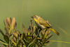 Common Yellowthroat (Geothlypis trichas) female