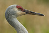 Sandhill Crane at Reifel Bird Sanctuary in Ladner, British Columbia