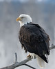 Adult Bald Eagle perching, Chilkat River, Haines, Alaska