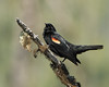 Red Winged Blackbird singing for spring, northwestern British Columbia