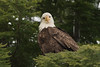 Bald Eagle  - the look - northwestern British Columbia