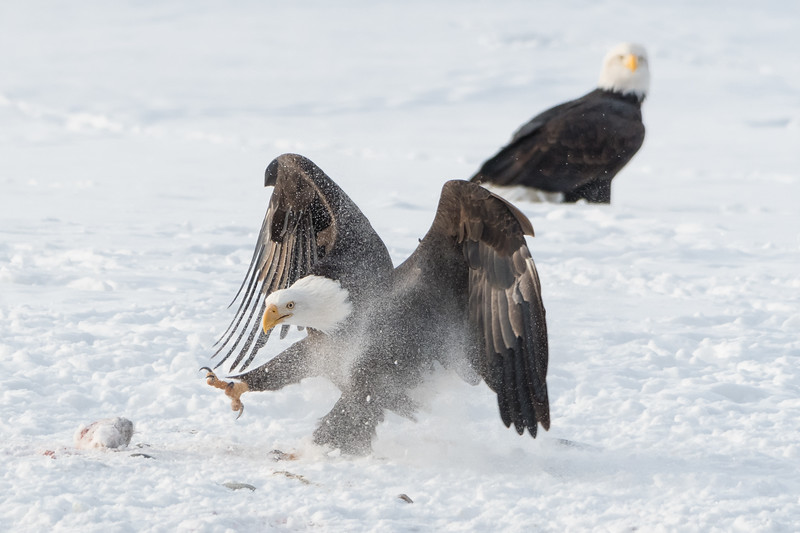 Adult Bald Eagle running through the snow towards a piece of Chum Salmon, Chilkat River, Haines, Alaska