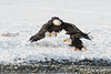 Adult Bald Eagles squabbling over Chum Salmon, Chilkat River, Haines, Alaska